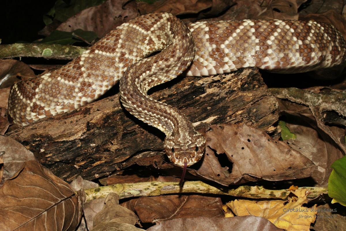Tropical Rattlesnakes