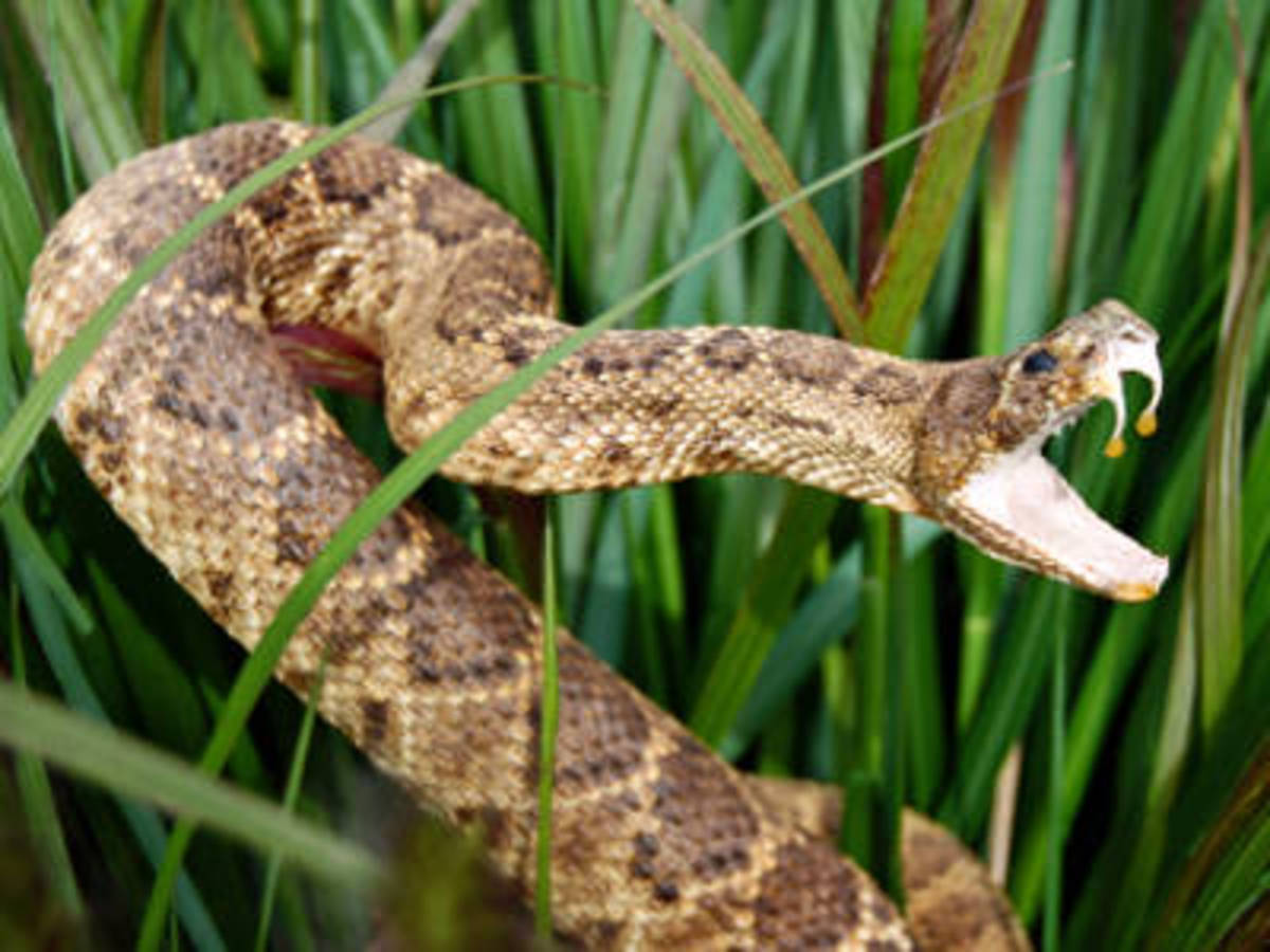 Argentina, Venomous Snakes & Poisonous Spiders, Bugs and other Dangerous Insects and Animals