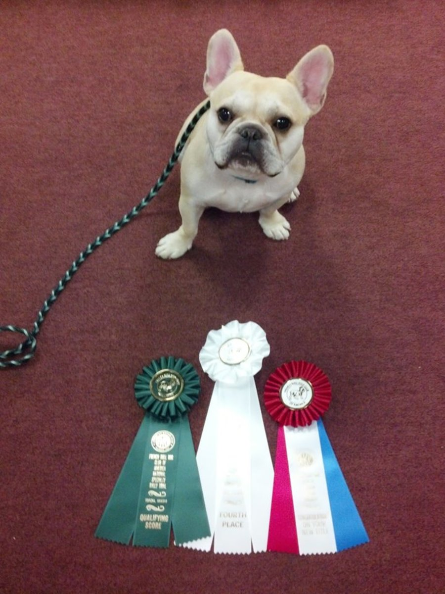 My French Bulldog, Teddy, earned his R.N. title at the French Bulldog National Specialty in Topeka, KS in 2013. The green ribbon is for qualifying, the white one was for earning fourth place, and the red, white, and blue ribbon is for his new title.