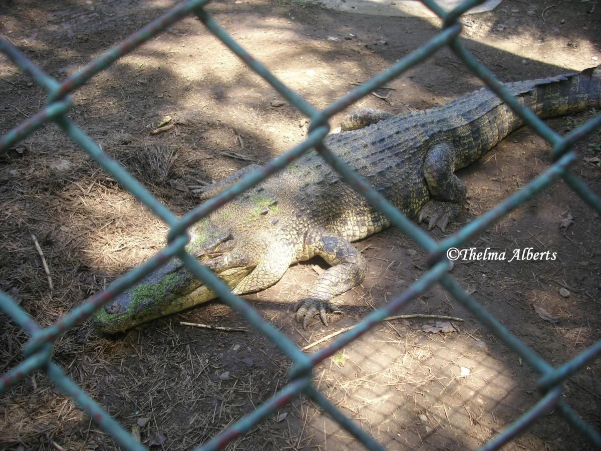 Live Crocodile at Davao Crocodile Park