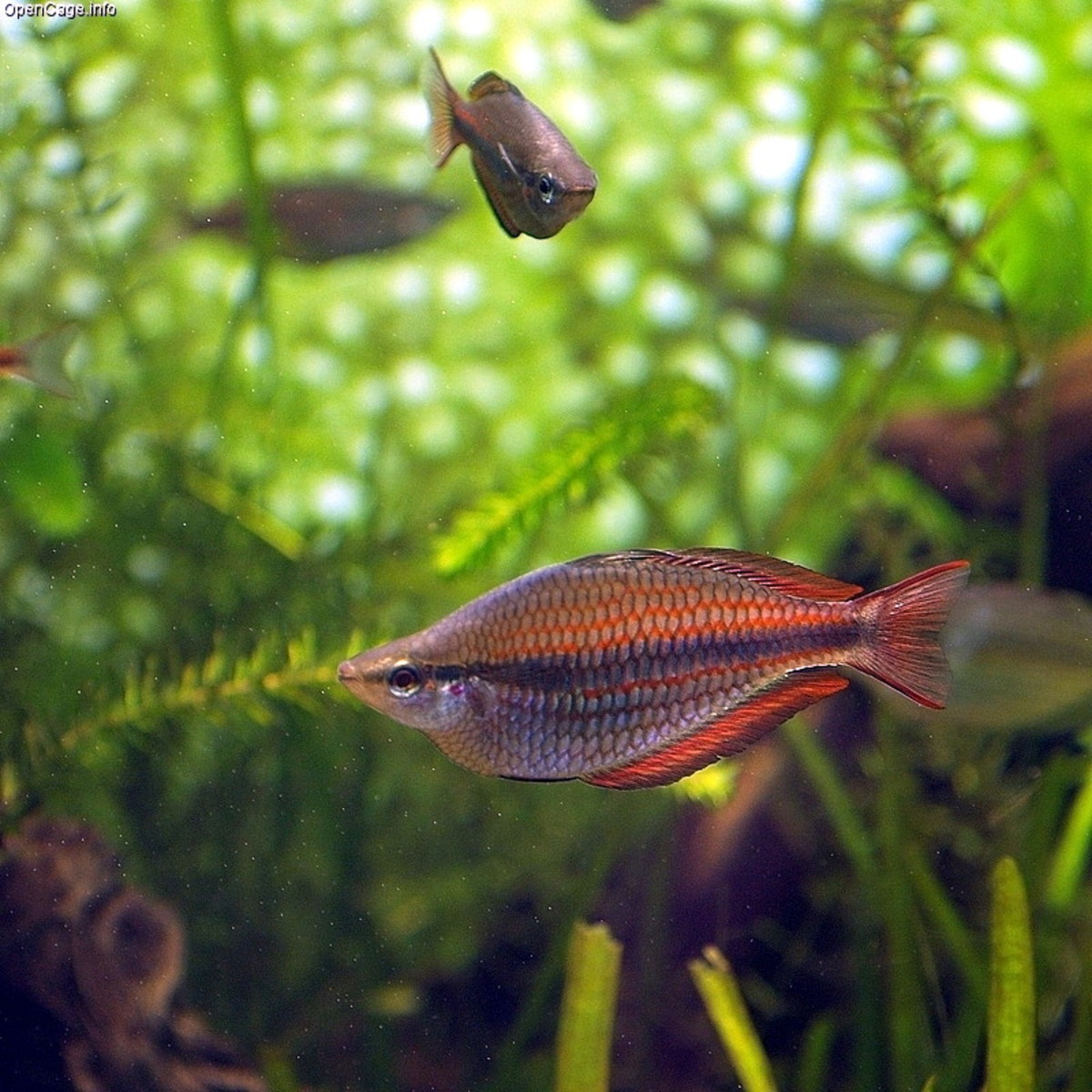 Banded Rainbow Fish