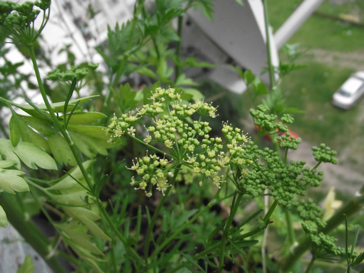 Parsley fruits/seeds (Petroselinum crispum Mill.)