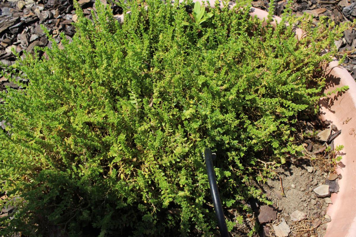 Smooth rupturewort (Herniaria Glabra L.)