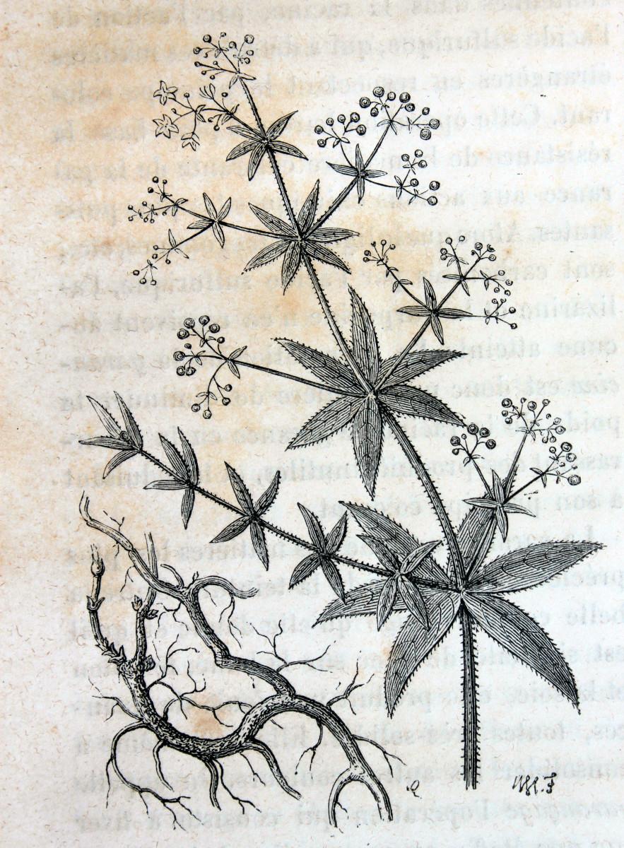 Dyer's madder (Rubia tinctorum)