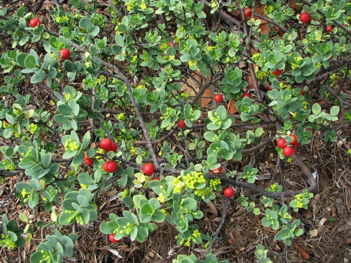 Bear berries.