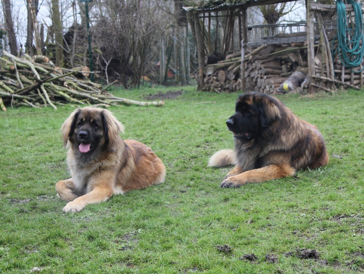 twenty-rare-and-unique-breeds-of-dogs