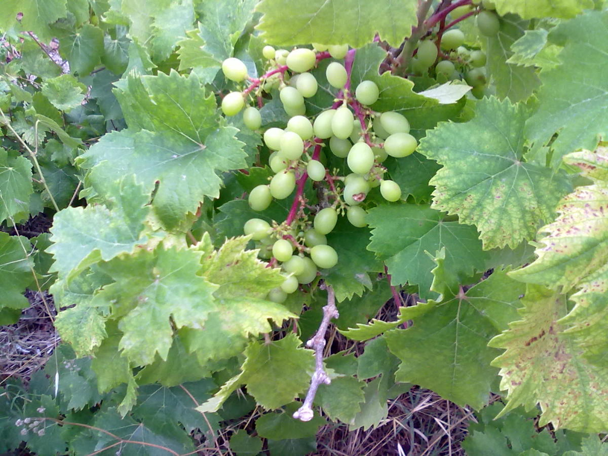 Avoid white grapes if you suffer arthritis