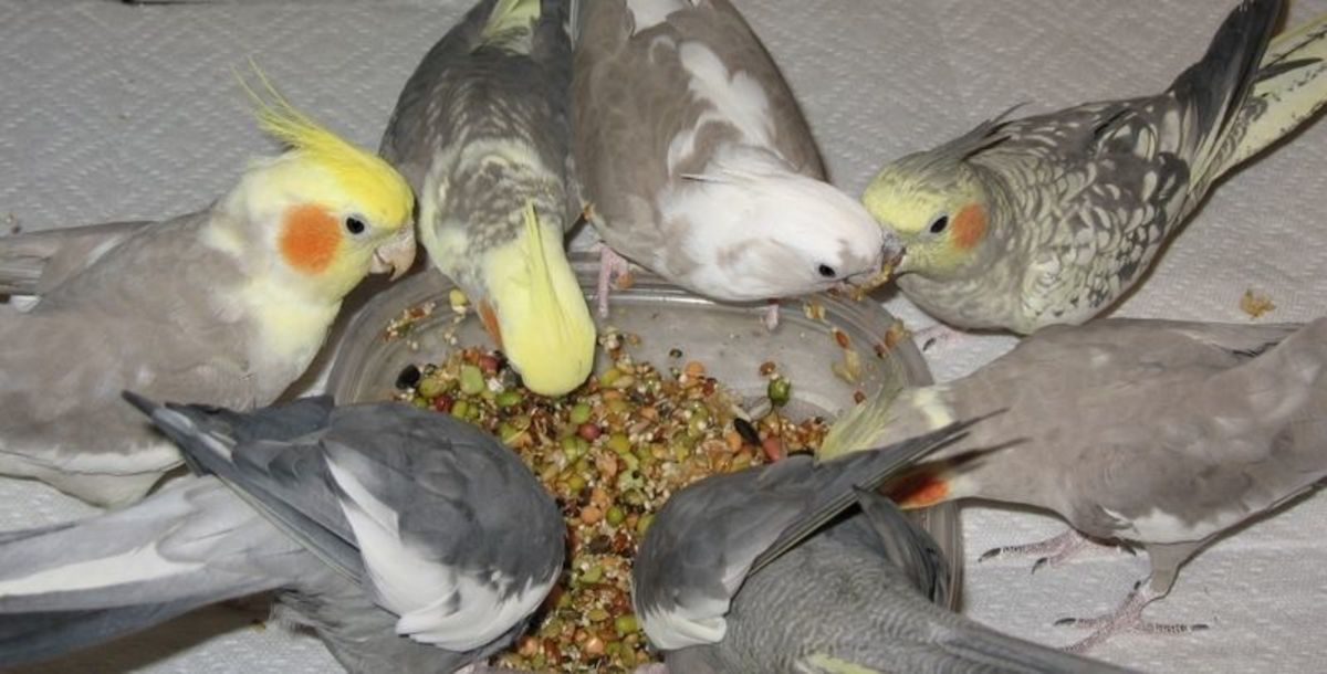 Cockatiels sharing sprouted seeds (Creative Commons Stock Image)