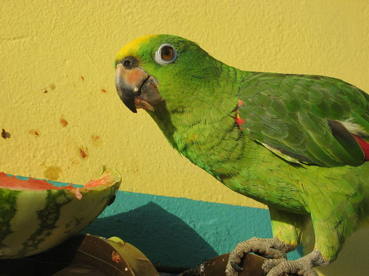 Amazon Parrot eating a watermelon (Wikimedia Commons Image)