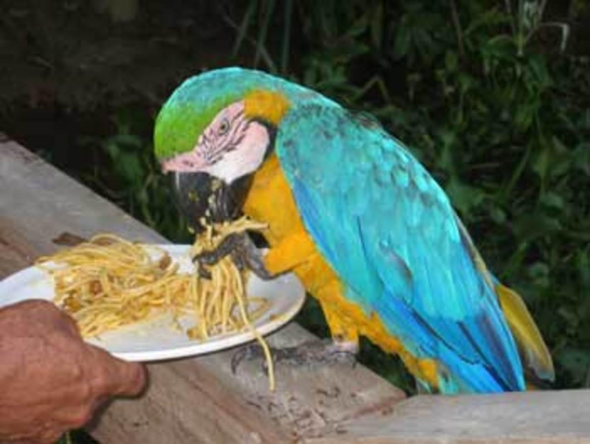 Macaw eating pasta (Wikimedia Commons Image)