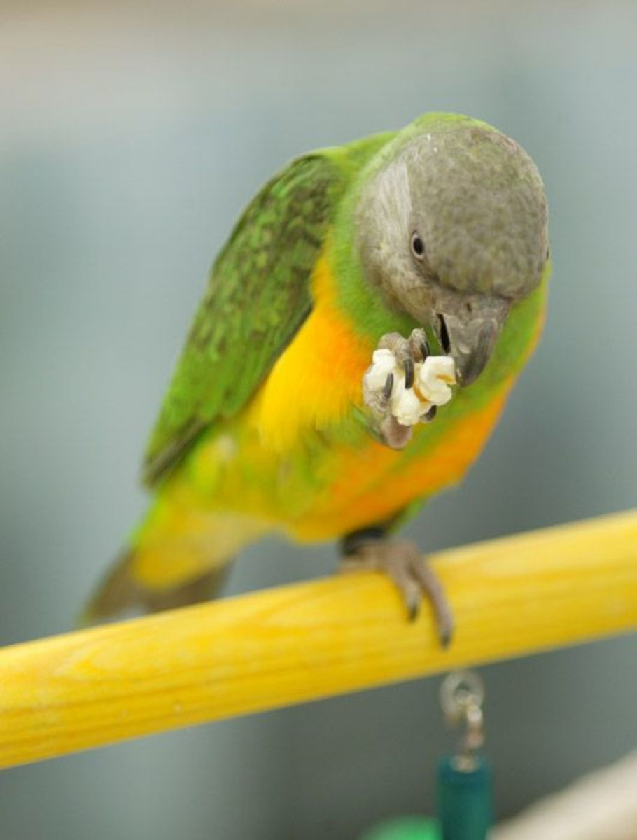 A Senegal Parrot enjoing popcorn (Creative Commons Stock Image)