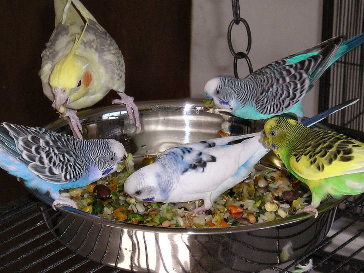 Cockatiel and budgies sharing a bowl of legumes (Creative Commons Stock Image)