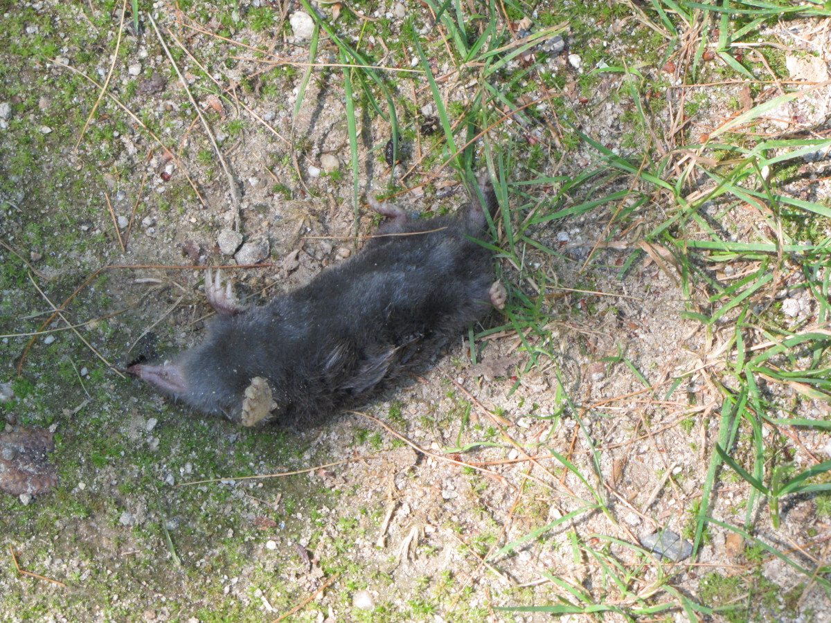 I found this fellow when I was out for a walk one day. I'm not sure what killed the little creature. Maybe it was a cat or old age or some sort of poison.