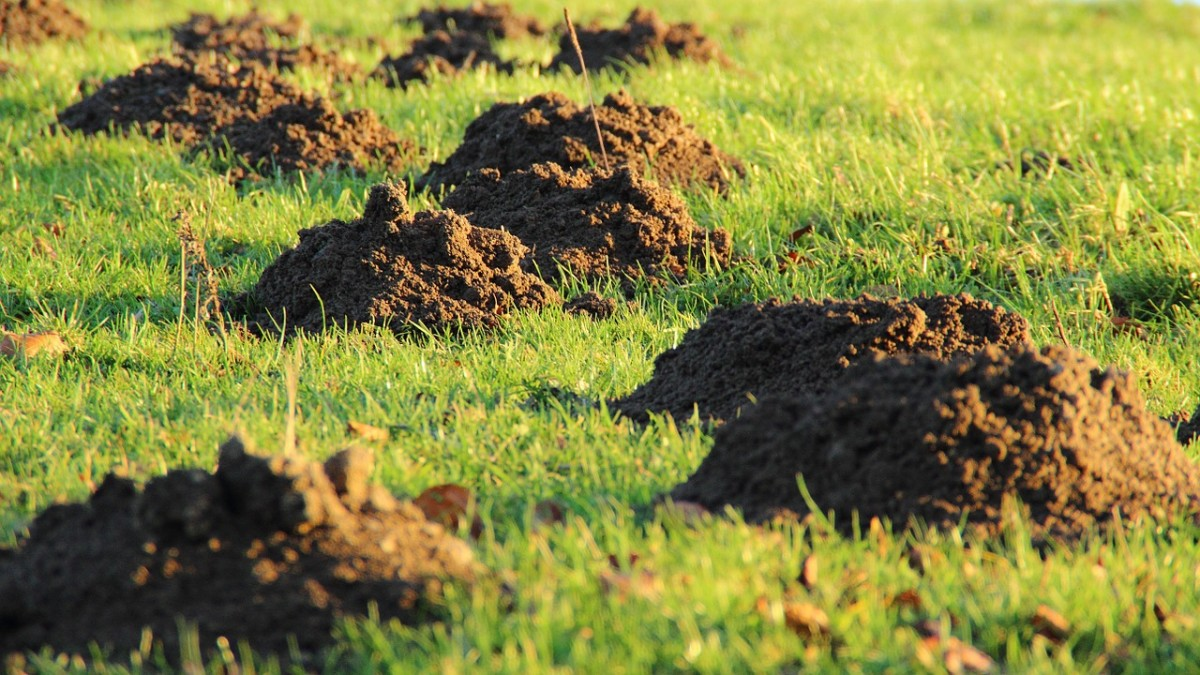 Ack, no one wants their lawn to look like this. Moles are expert tunnelers and can be damaging to the landscape.