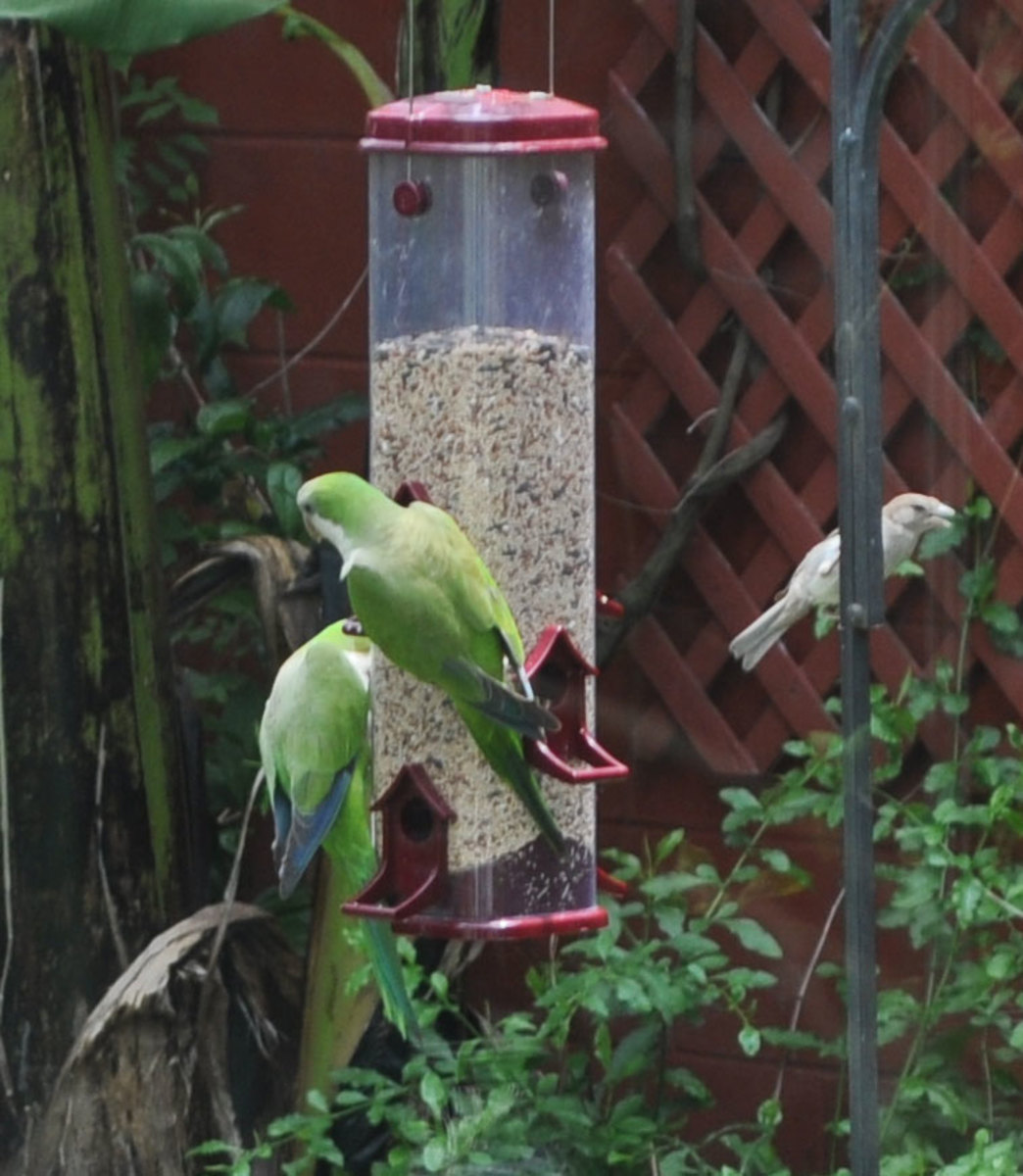 Wild parrots at backyard bird feeder