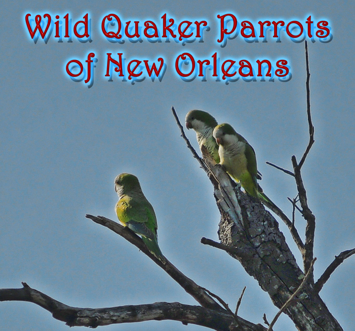 Wild Quaker Parrots of New Orleans