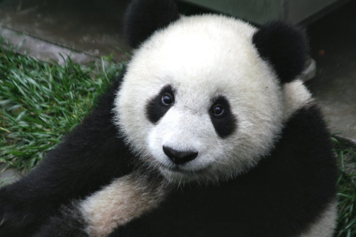 Close up of a cute baby 7-month old panda cub in the Wolong Nature Reserve in Sichuan, China. Photo by Sheila Lau.