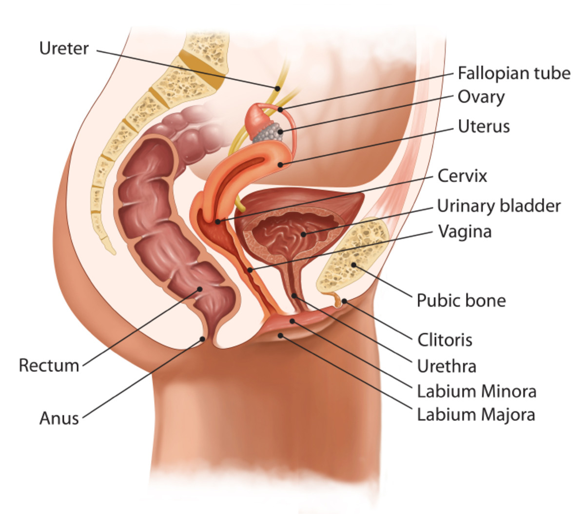 Illustration showing an anteverted (forward-tipped uterus).  The top of a  retroverted uterus would lean back toward the rectum.
