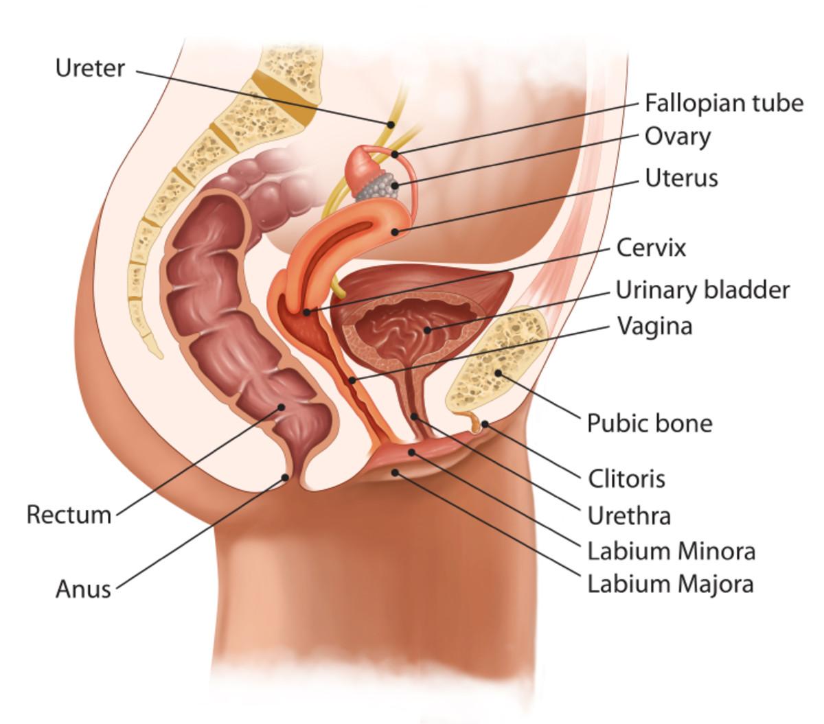 Inverted Uterus Diagram