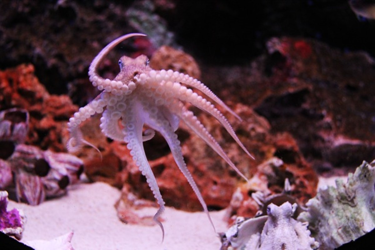 Greetings! I am an octopus. I like to swim, but scientists have caught me also using tools and playing by spinning objects in water currents and catching them. I can also find my way through mazes.