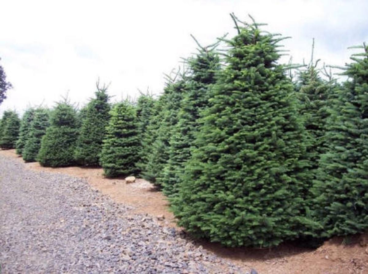 Real Christmas Tree Farm