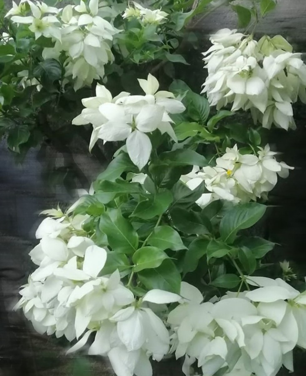 Doña Aurora: The white variation of Mussaenda philippica