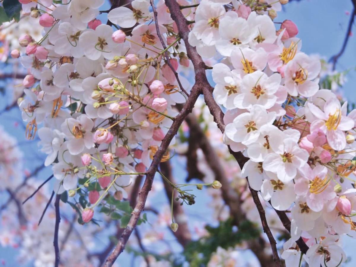 Palawan Cherry Blossom