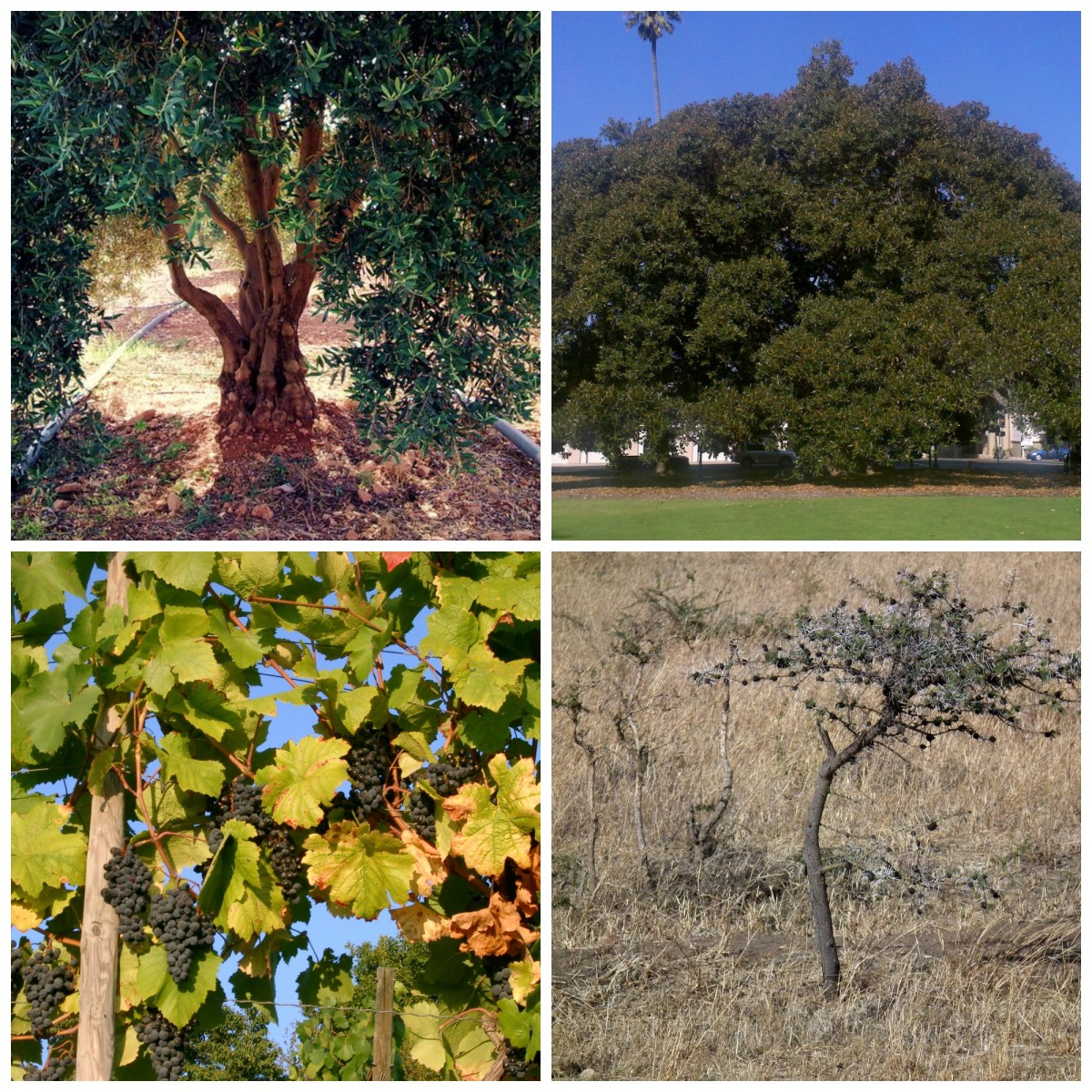 Olive tree Al-Chami, Fig tree Fettlemap, Grapevine? and thornbush by Neut Dilma