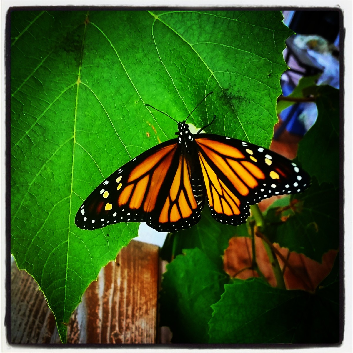 The Monarch Butterfly—an Illustration of Transformation—the Caterpillar Phase