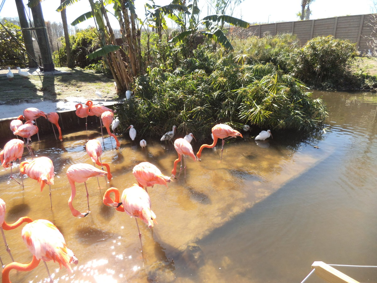 I captured these at Gatorland in Kissimmee. Yes, they really are that color. The fun part about wearing a flamingo costume to a Halloween party, is it gives you an excuse to hang out all night by the buffet eating shrimp. That's their favorite food.