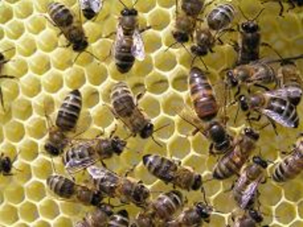 example of bees and honeycomb