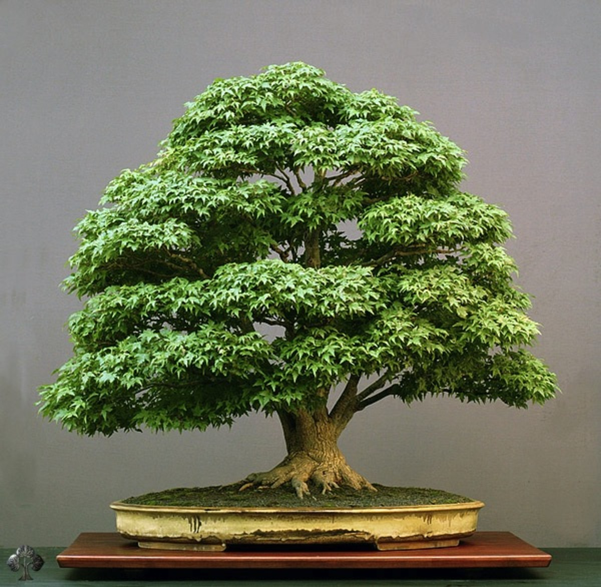 everything-you-wanted-to-know-about-bonsai-trees