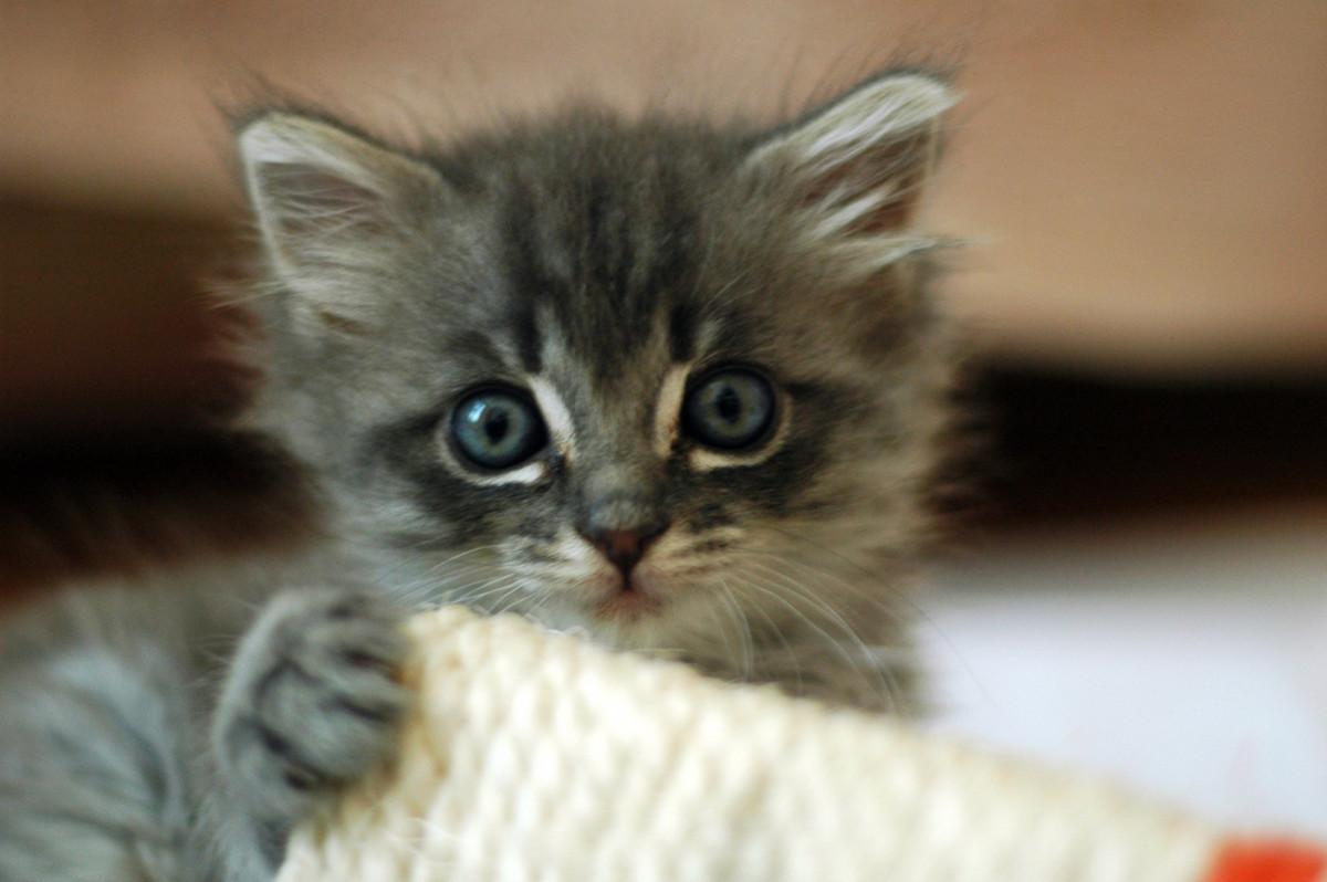 Adopting a munchkin kitten