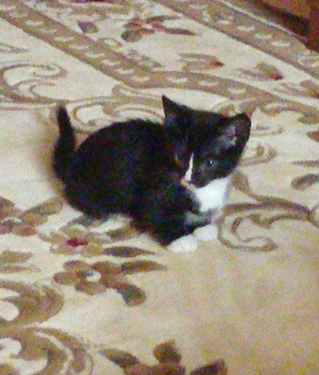 Our tuxedo munchkin kitten, Diego