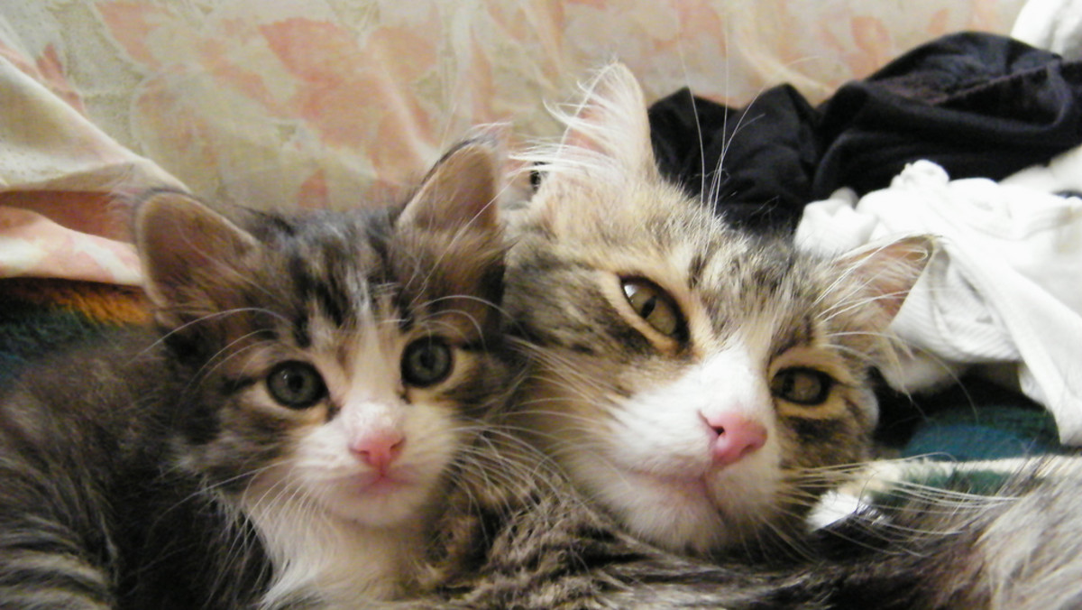 Mama cat with baby kitten
