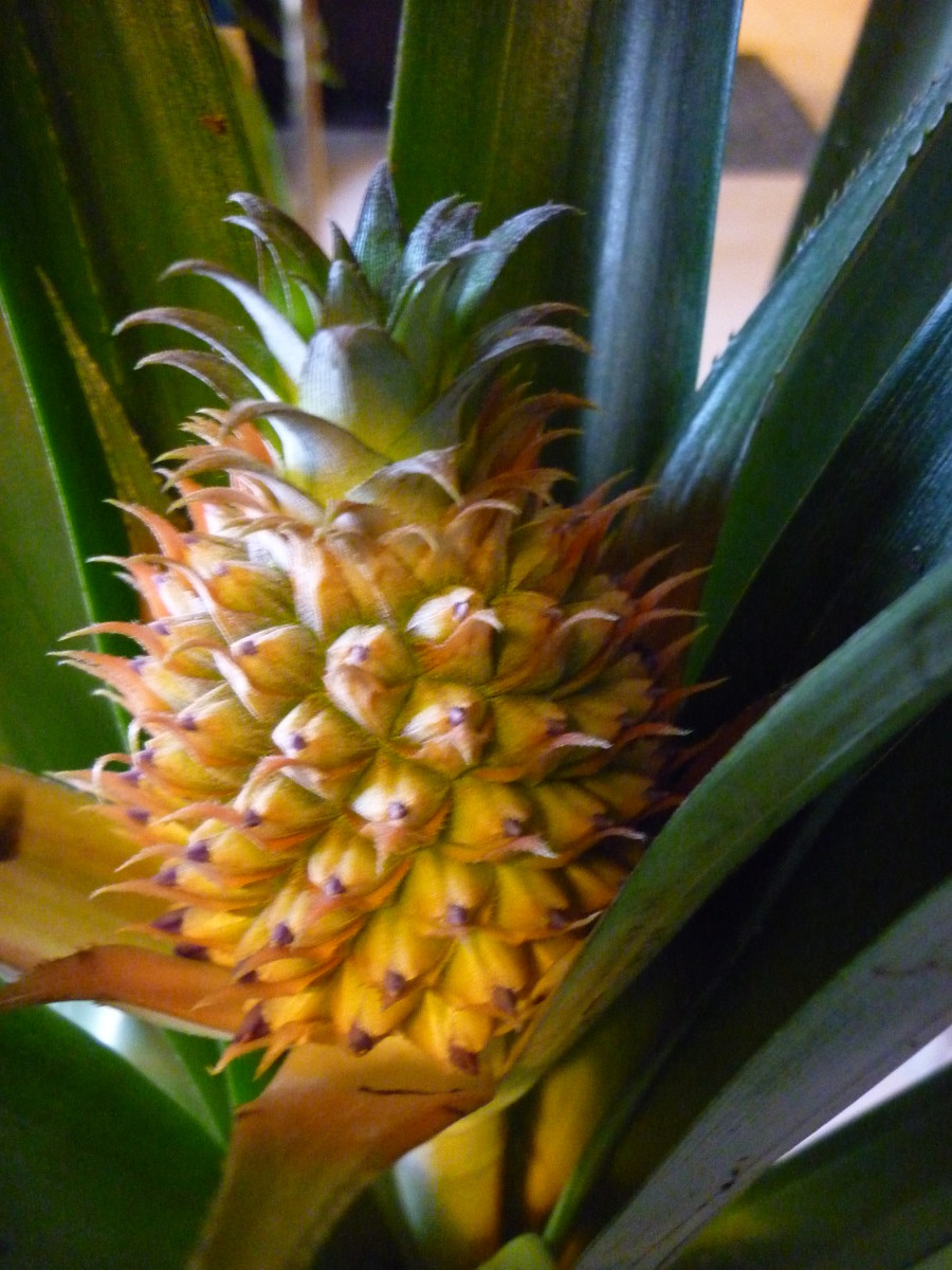 Midwest Grown Pineapples