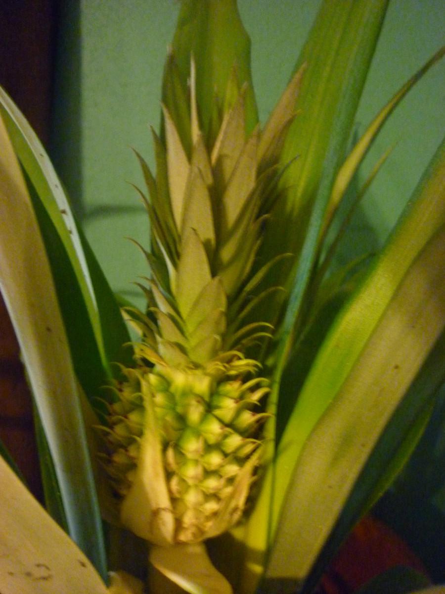 Pineapple #2 April 2015