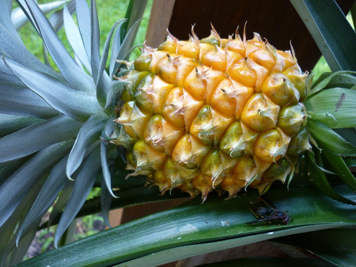 Pineapple #1 fruit -  August 2015