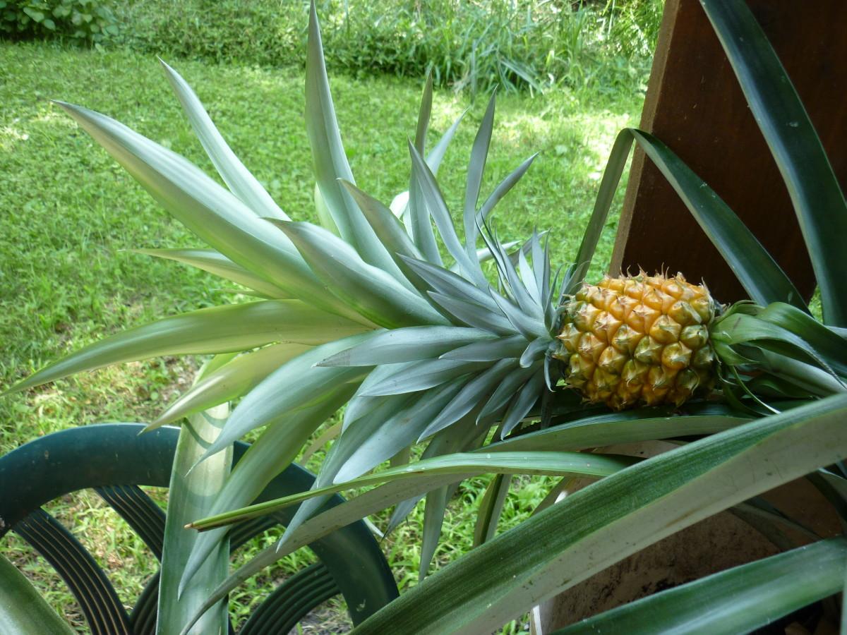 Pineapple #1 8-23-15