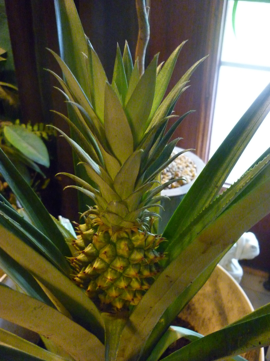 The first pineapple from December 2015