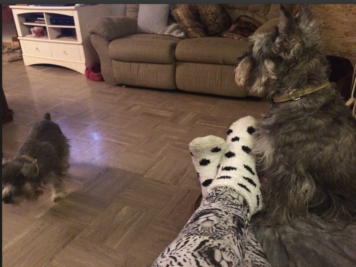 My three rescue Miniature Schnauzers not only keep me in the game, they keep me entertained and are lots of company! For a good part of each day I'm sitting with my feet up (required) & furkids Ladybug and SueSue keeping me company. (Whizzer not pic)