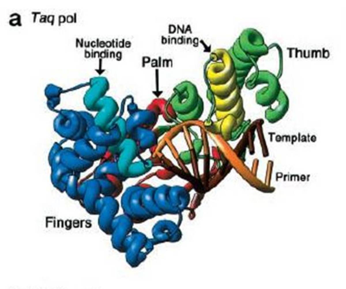 Taq Polymerase Structure