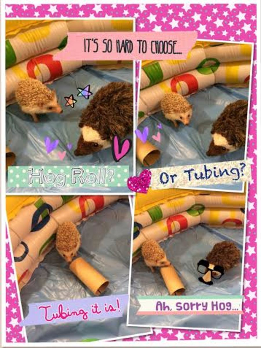 Rocher Hage having a tough time deciding between his soft Hedgie toy and the tube