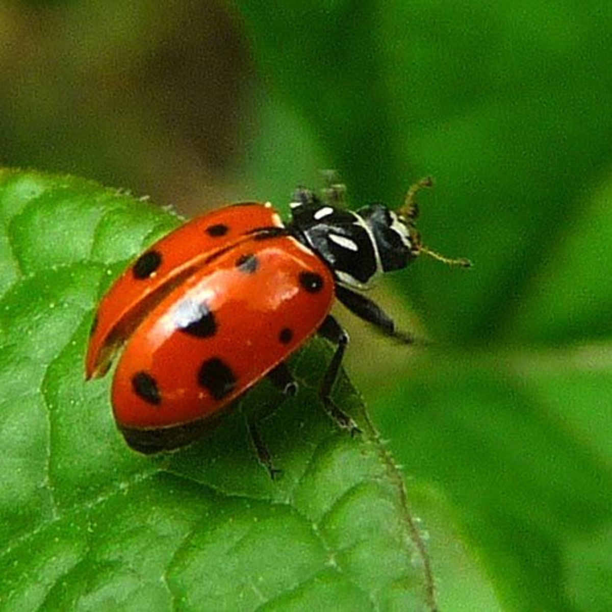 Ladybugs (Coccinellidae)