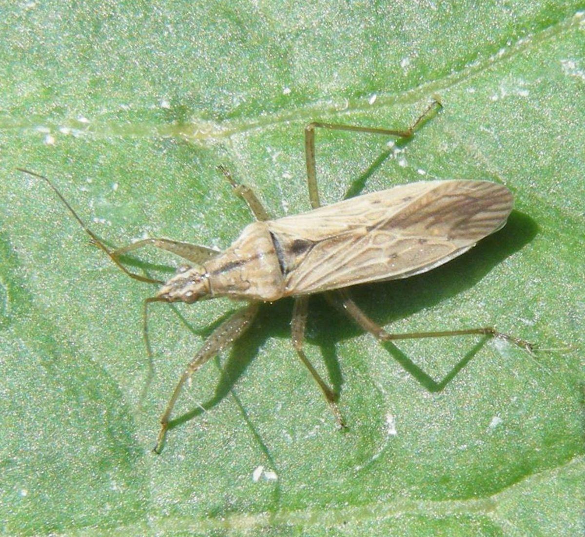Field Damsel Bug (Nabis ferus)