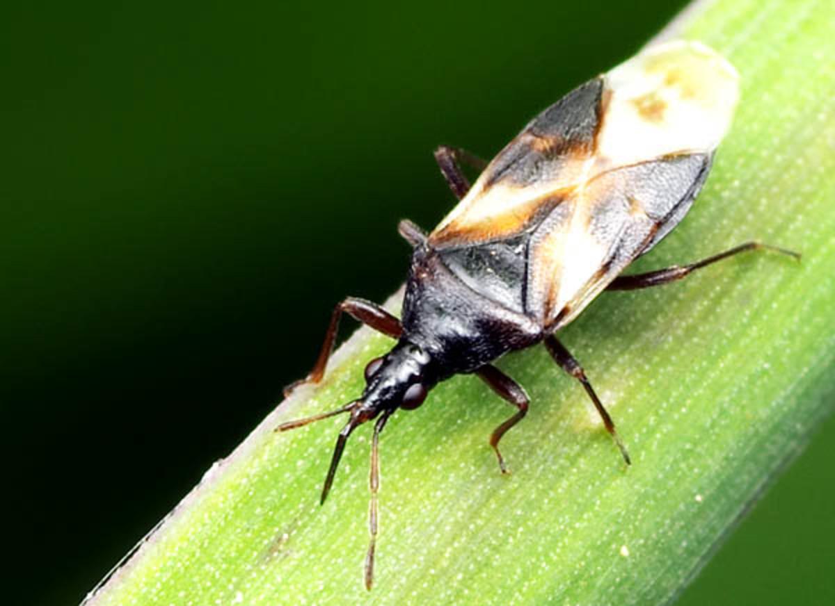 Minute pirate bug (Anthocoridae)