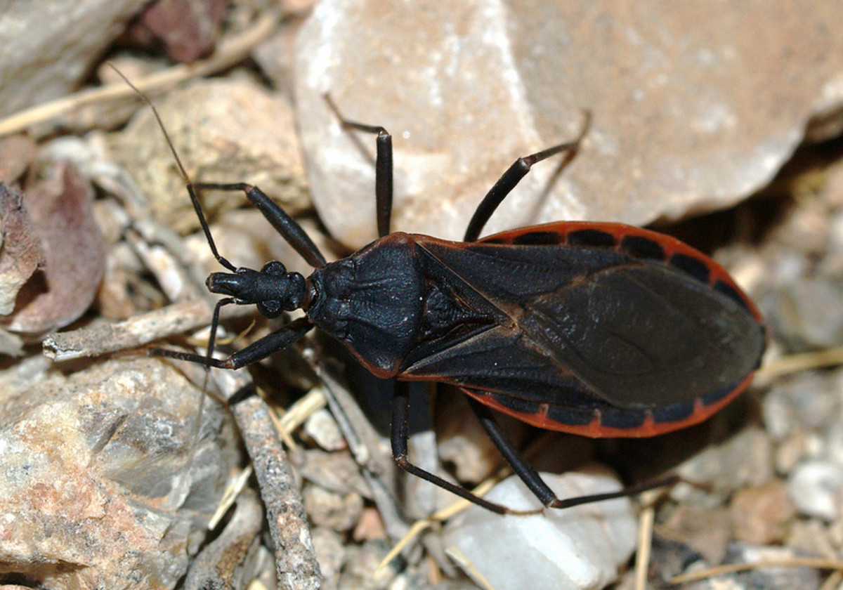 Kissing bugs may be beneficial to gardens but they have been known to carry harmful diseases that can infect humans who get bitten by them.