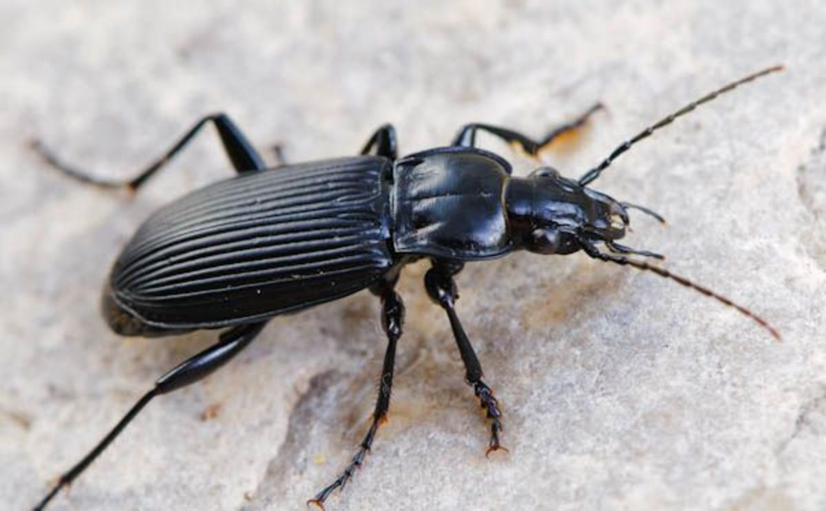 Common Black Beetle (Pterostichus melanarius)