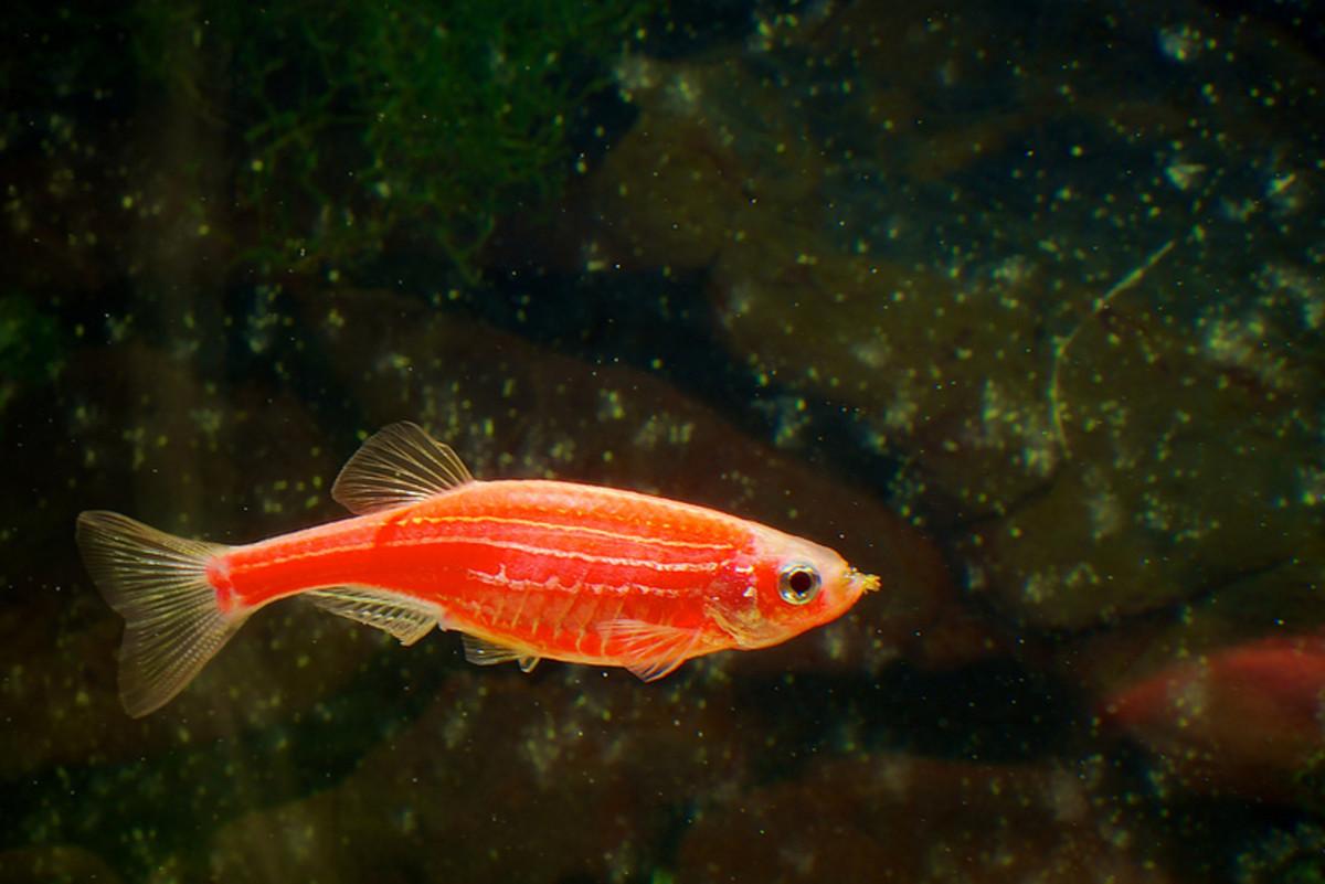 is-it-cruel-to-keep-glofish