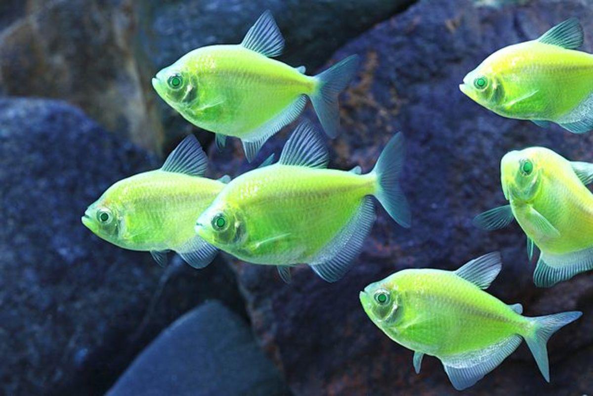 Black tetra (Gymnocorymbus ternetzi)--glofish vatiety